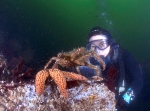 A big spider crab begins to mount a starfish.